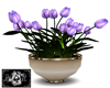 Tulpe Flower