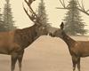 Blizzard Doe & Deer