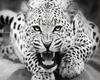 White tiger wild