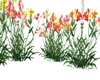 kengoro flowers