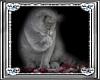 *D* Grey Kitten