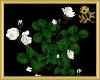 White Rose Vine