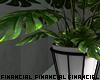 Monsteria Plant