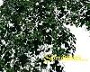 Ivy Canopy