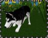 """""""Husky Playtime"""