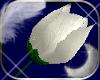 .+. White Rose