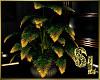 *Black & Gold Plant