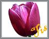 (Tis) Purple Tulip