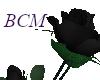 Black Rose Plant