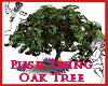Push Swing Oak Tree