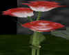 RedtoWhite Rose