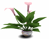 Easter Lily Flowers Pink