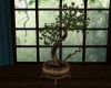 !Country Spa Bonsai Tree
