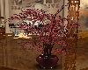 rose club 5 plant