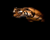 tiger shade