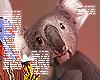 . Koala