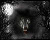 black wolf  forest