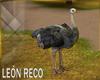 c Ostrich