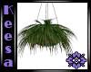 Hanging Cactus Plant