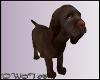 D- Nutella Labrador Pup