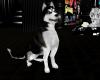SC  Blue Eyed Husky