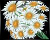 Daisy Wedding Flowers CC