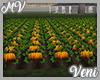 *MV* Pumpkin Patch