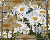 SB Field of Daisies