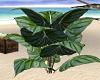 Philodendron Maximum