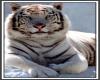 White Tiger ,sticker