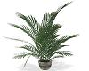 Elegant Garden Palm