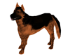 !K German Shepherd Dog