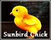 SUNBIRD Chick