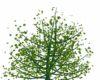 Green Falling Leaf Tree