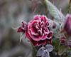 ice rose dance rug