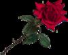 Rose Big 9
