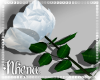 & White Rose