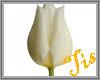 (Tis) White Tulip