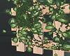 New Ivy Plants.2