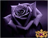 Rain purple roses
