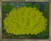 Gold Leaf Bush