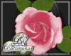 Pink Rose Frame Transpar