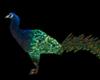 LKC Magic anim. Peacock