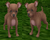Chihuahua Pet (DJT)