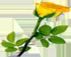 (KD) Yellow rose
