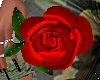 Hold Red Rose