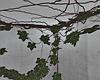 Corner Ivy Plants
