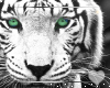 White Tiger -Animated