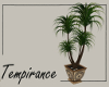 Patio Palm Plant