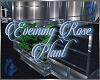 Evening Rose Plant